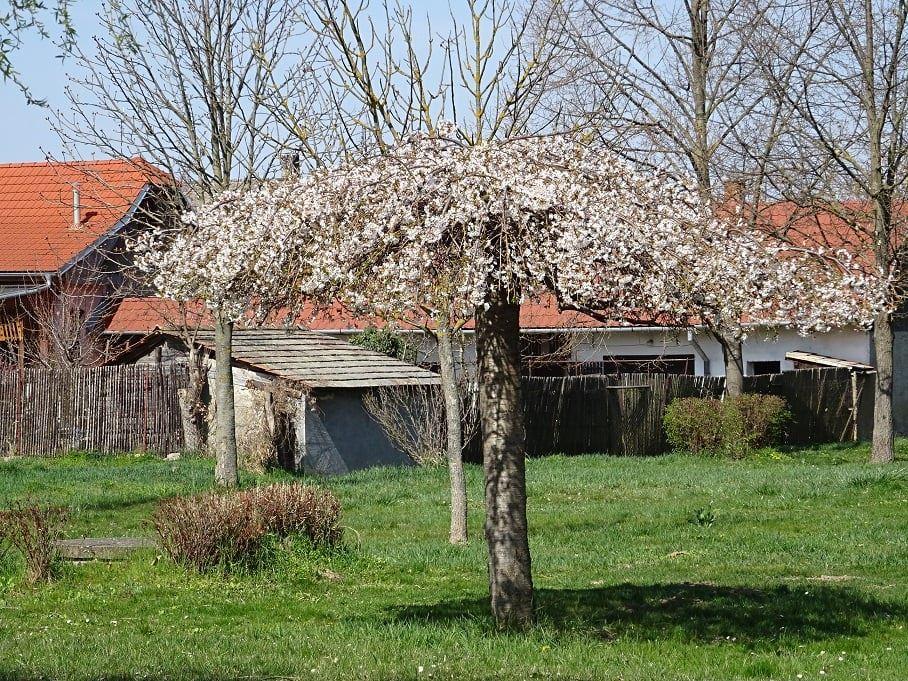 A muzslai parkban kivirágoztak a fák