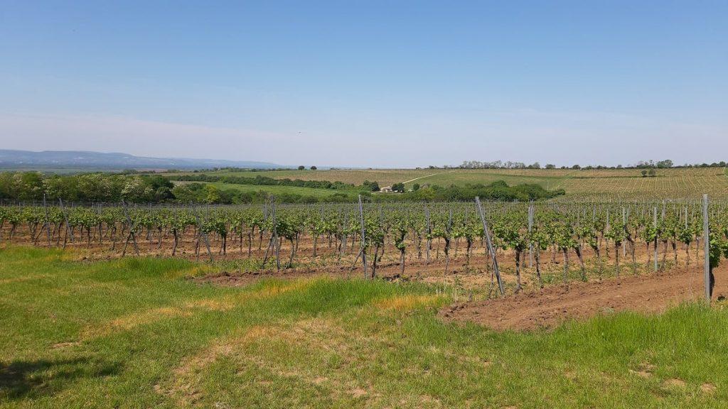 Potulky v mužlianskom vinohrade